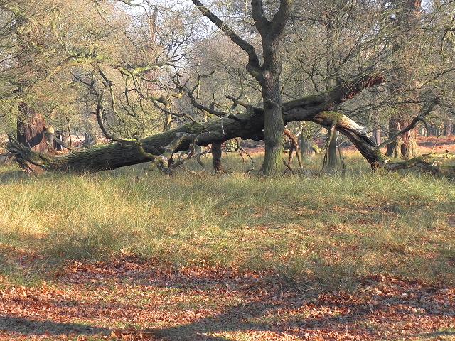 Dunham Deer Park, Fallen Tree