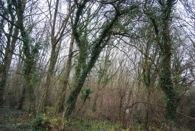 Dense tangled woodland undergrowth