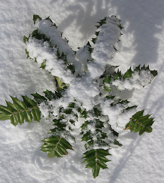 Mahonia in snow