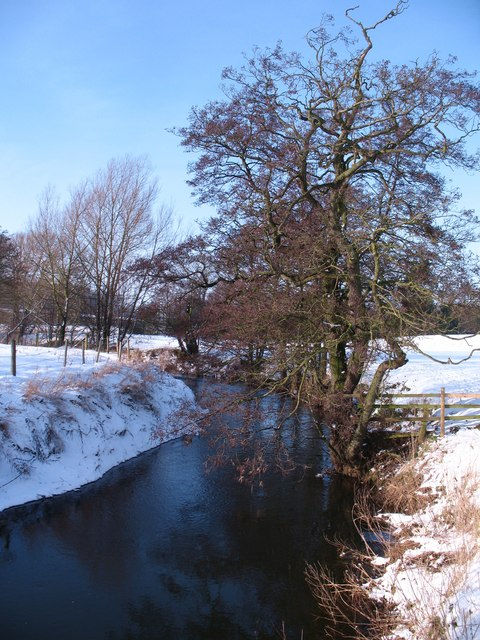 Alders by the beck