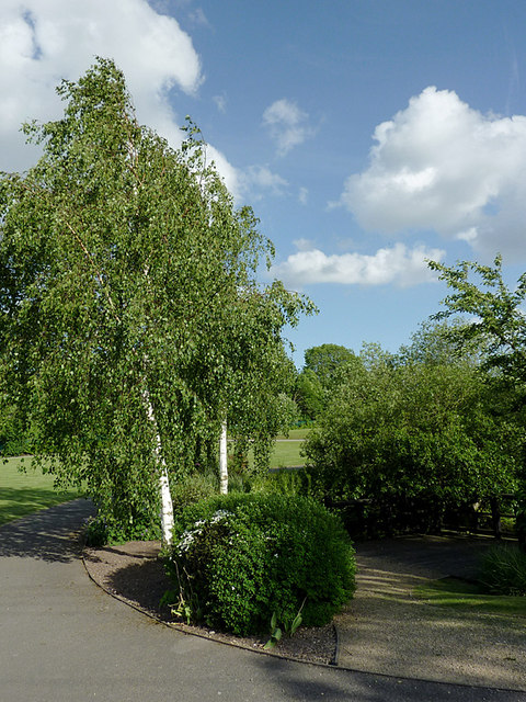 Birch trees in the park at Penkridge, Staffordshire