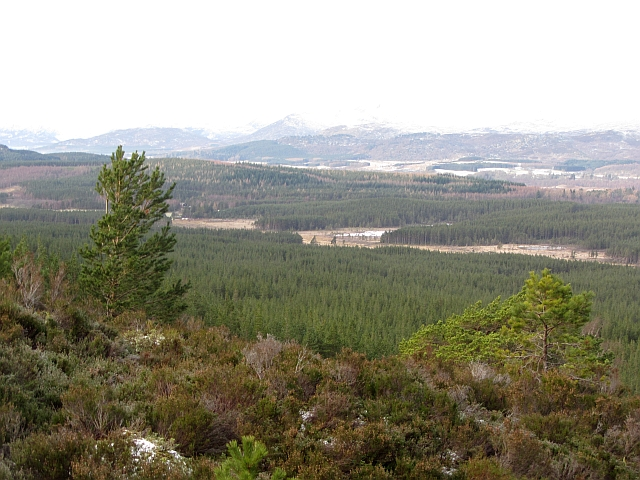 Regenerating pine forest