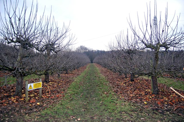 Apple Orchard by Winfield Lane