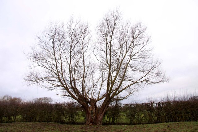 A split willow tree near Hampton Poyle