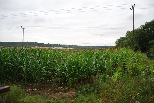 Maize by the Medway Valley Walk