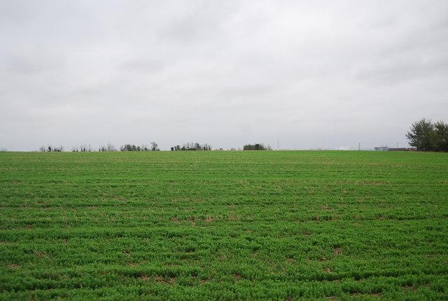 Newly emerged oilseed rape