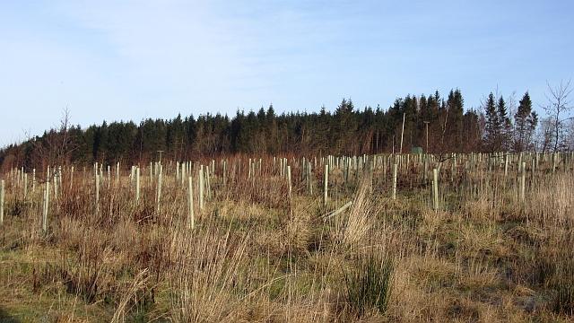 Newly planted woodland
