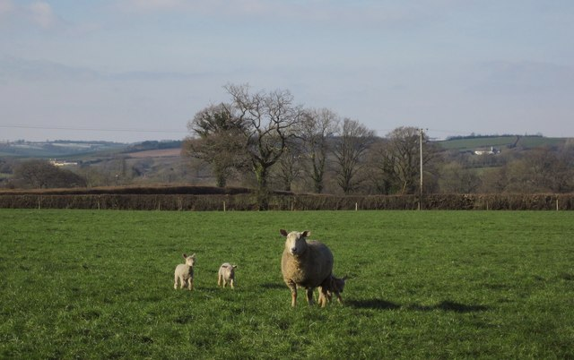 Sheep near Culmstock