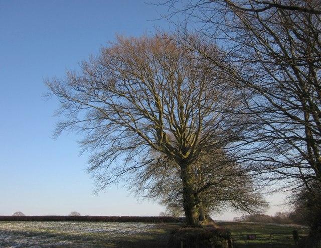 Beech tree near Leigh Cross