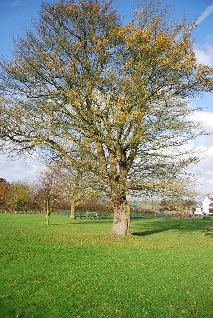 Tree at Farleigh Green