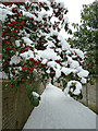 SP9211 : Snowy berries and path by Rob Farrow
