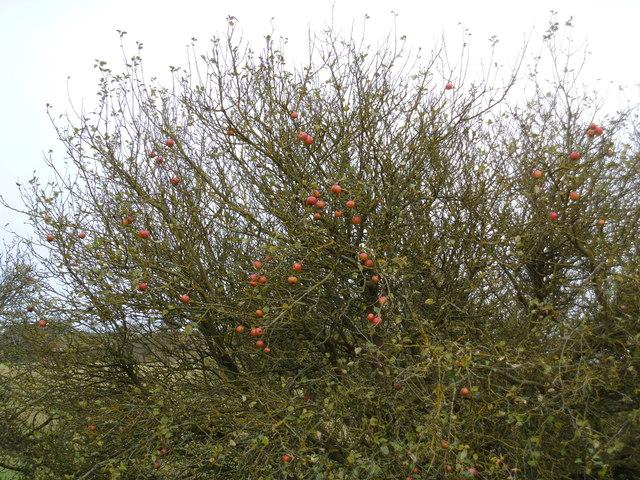 Unpicked apples