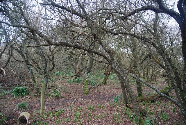 An old gnarled woodland