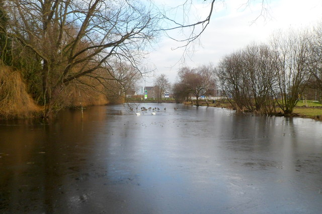 Swans and Canada geese on lake near Queen's Way, Newport