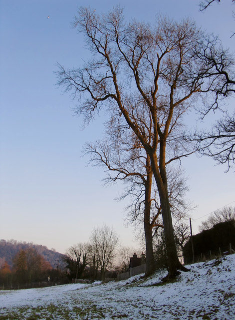 Ash trees in Norbury Park, Westhumble, after snow