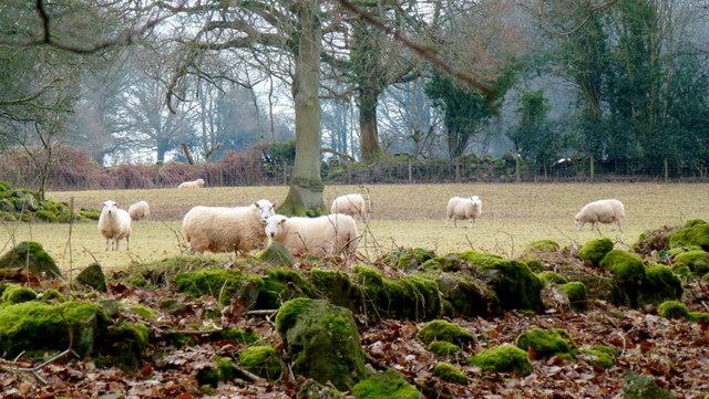 Sheep at the woodland edge