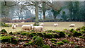SO5106 : Sheep at the woodland edge by Jonathan Billinger