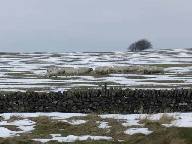 Sheep at feeders, winter, Chelmorton