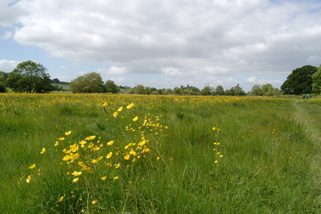 Buttercups beside footpath