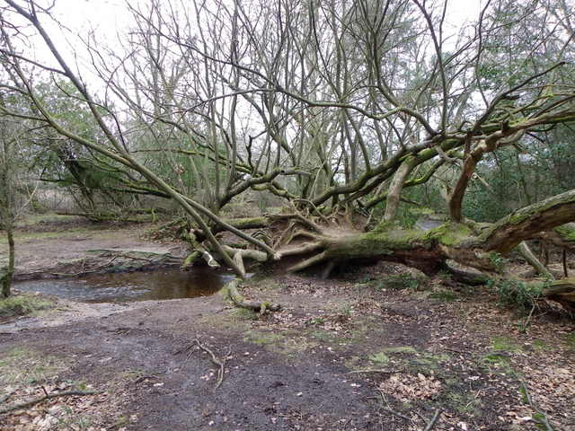Tangled roots and branches near Puttles Bridge