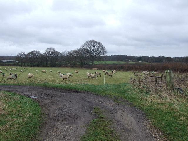 Sheep In Field, Near Vicarage Farm
