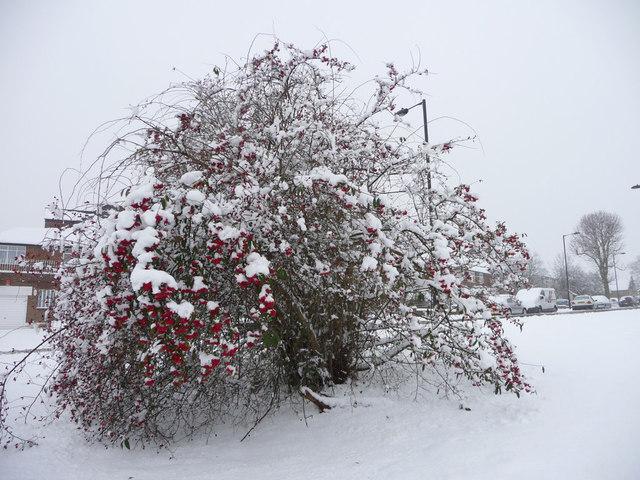 Berries and Snow, Prince George Avenue, London N14