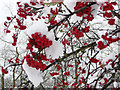 TQ2995 : Berries and Snow on Bush on Green, Prince George Avenue, London N14 by Christine Matthews