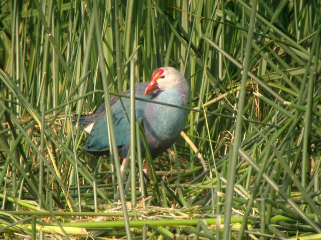 Purple Swamphen, River Great Ouse