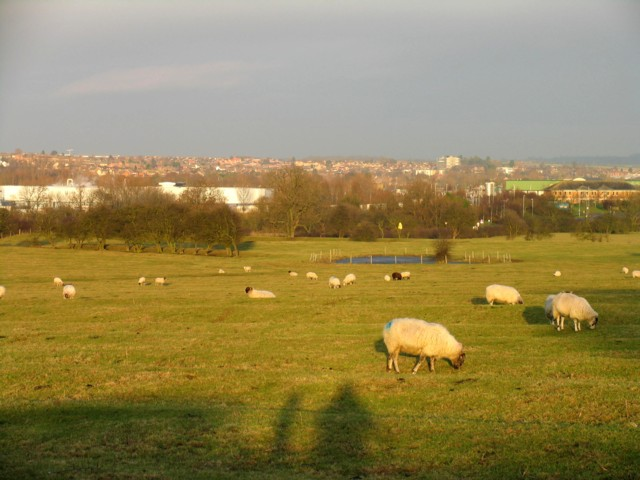 Field of sheep near to Melton Mowbray
