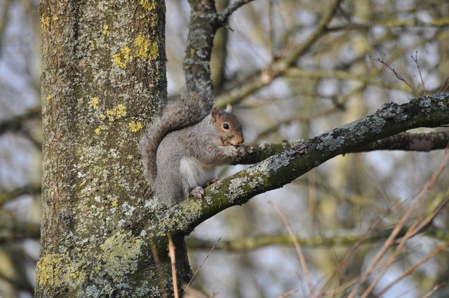 Tiverton : Squirrel up a Tree