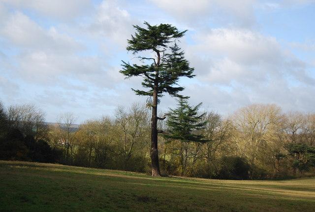 Distinctive tree, West Farleigh