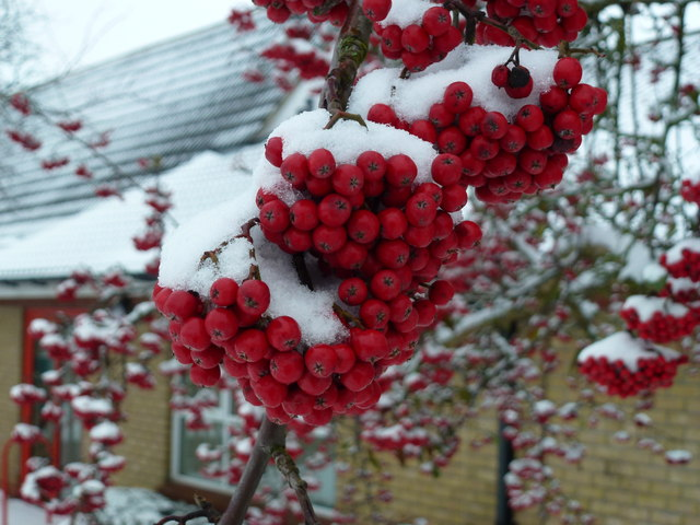 Red school berries