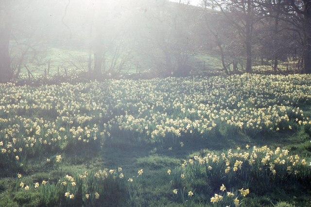 Farndale: wild daffodils