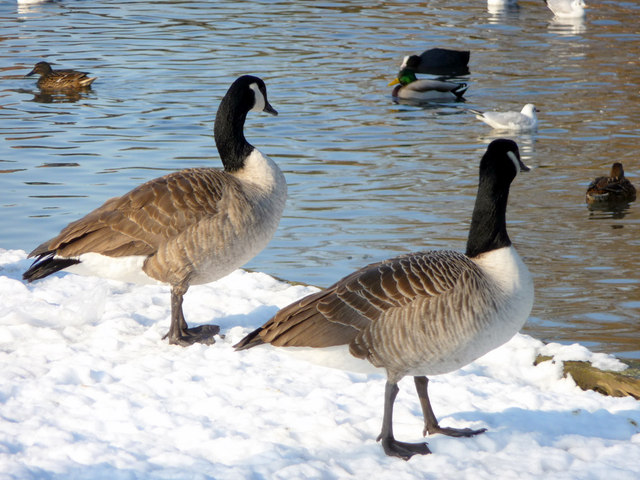 Canada Geese, Boxer's Lake, Enfield