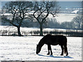 TQ2998 : Horse Grazing, The Ridgeway, Enfield by Christine Matthews