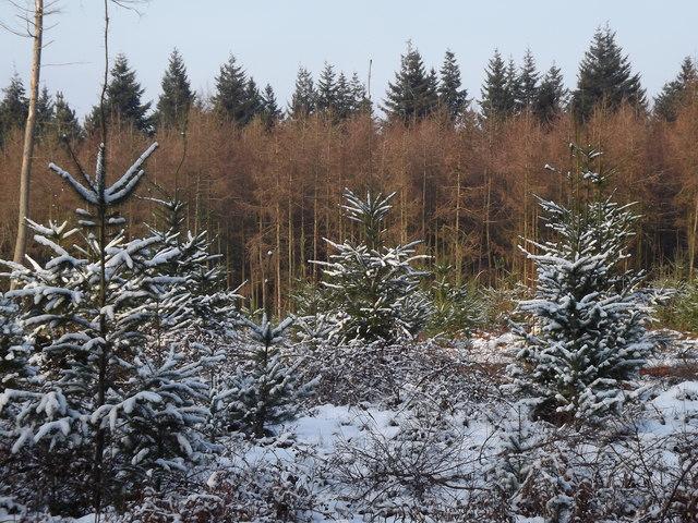 Christmas Tree Plantation, Newlands Corner