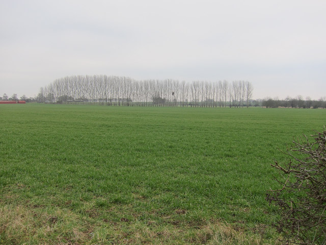 Poplar windbreak on White Cross Hill