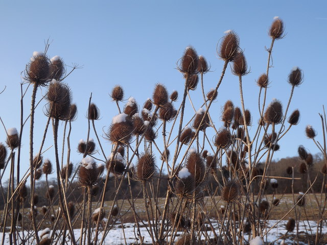 Teasels Snowcapped