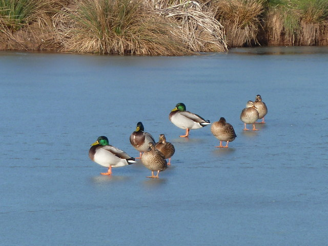 Ducks walk on water - Cob House Fisheries