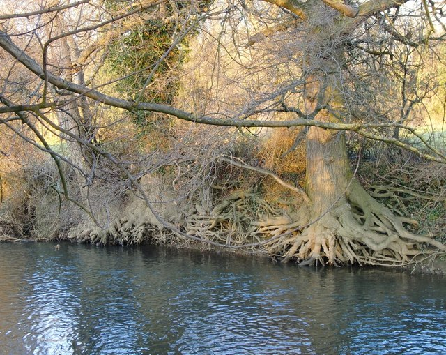 East bank of the River Mole, with exposed oak roots