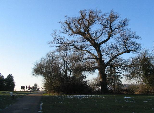 Curving Oak, Allesley Park