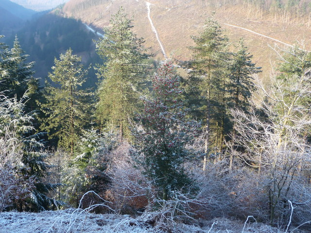 Holly tree in the forestry above Cwm Gwyddon