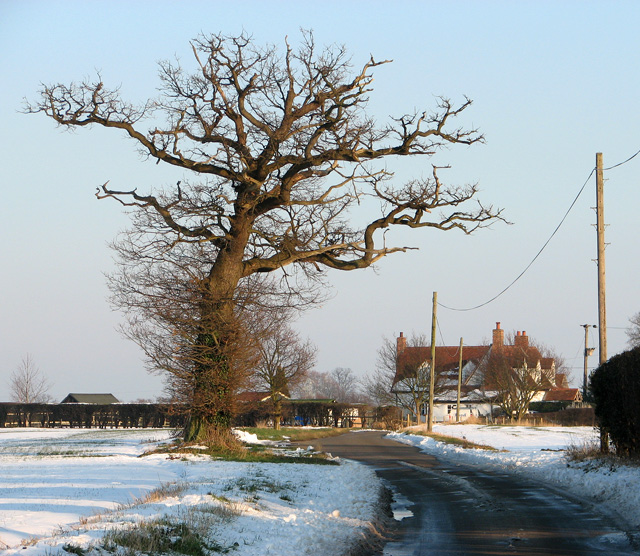 Ancient oak tree beside the lane to Washbrook