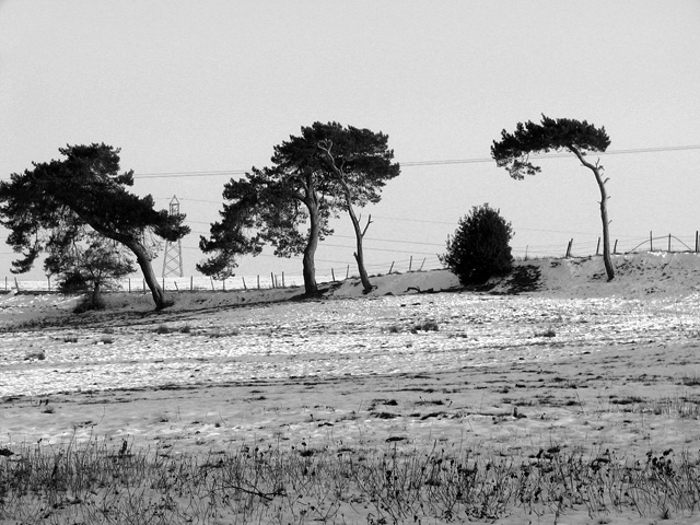 Windswept pines, Washbrook