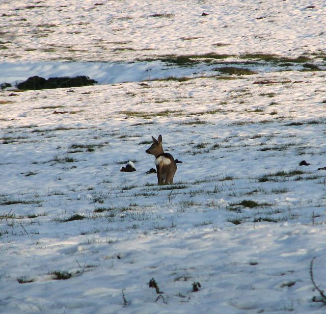 Roe deer (Capreolus capreolus), Washbrook