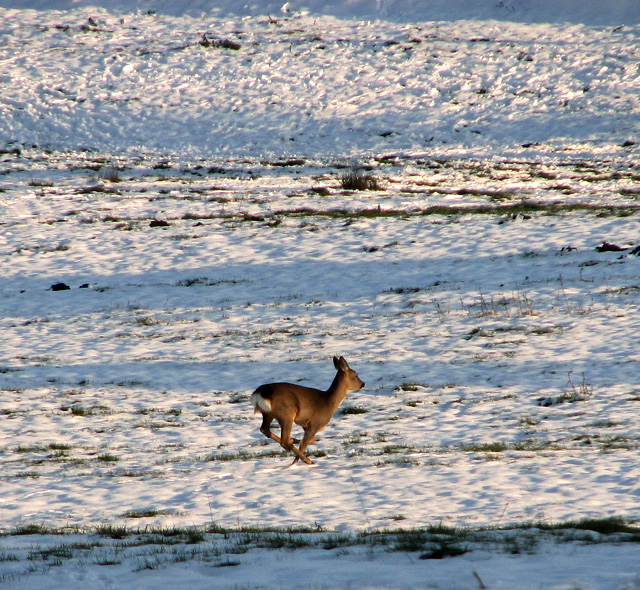 Roe deer (Capreolus capreolus) on the run, Washbrook
