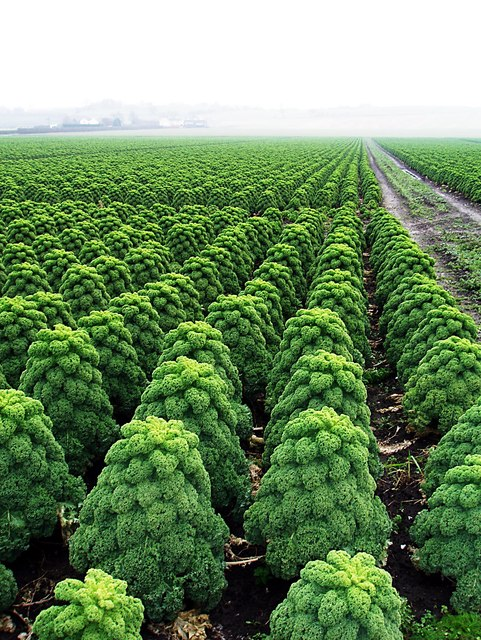 Large field of curly kale