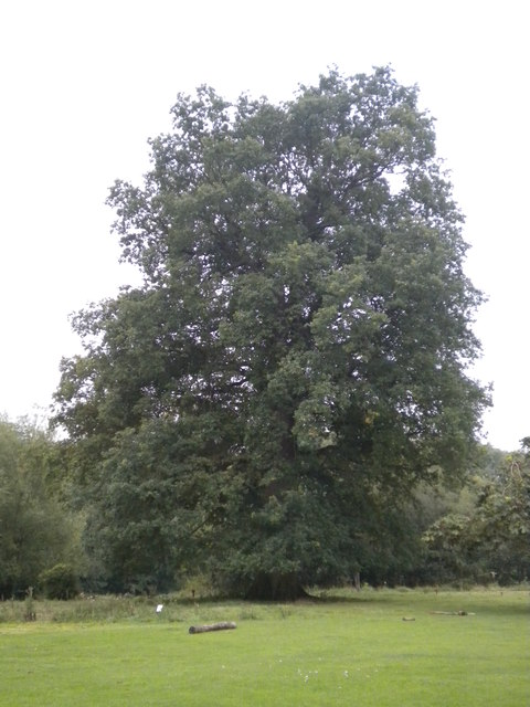 Big oak tree in Hatfield forest