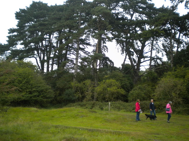 A little coppice of pine trees