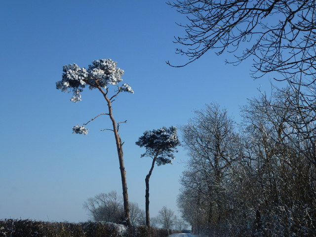 Scots pine trees near Thimbleby House